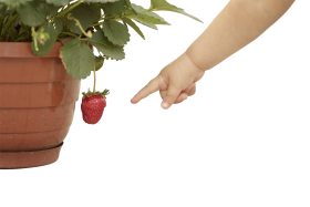 Potted Strawberry Plant with Fruit