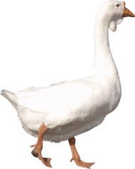 white adult Goose