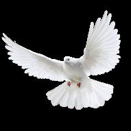 White Pigeon Realisitc