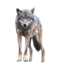 Wolf Standing An Looking Forwards
