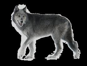 Wolf Walking Side Ways