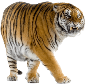 Yelllow Tiger Walking