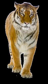 Yellow Tiger Walking